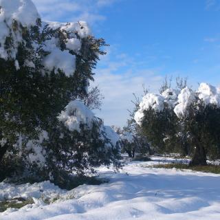 Oliveres nevades a Les Masies, aprop de Poblet