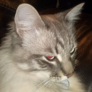 Robat el nostre gat fa un mes a cornella del terri,era part de la nostra familia i un gat molt espécial.Demano a qui el tingui ho sapiga alguna cosa que ho digui sisplau