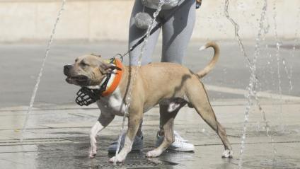 Un gos es refresca a Sabadell, el passat juny