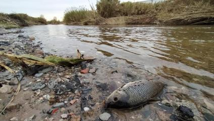 Vista d'un peix mort a la llera del Besòs, després del vessament