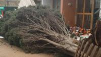 Un xiprer caigut Pla al pati de la llar d'infants de Linyola, a causa del temporal Gloria