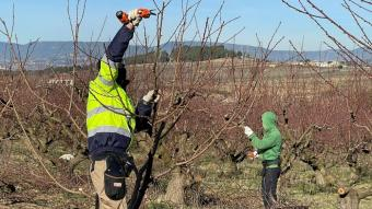 Dos joves poden presseguers en la iniciativa de relleu agrari Coopera, un Projecte Singular de la cooperativa Actua.
