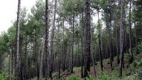 Un bosc del Solsonès, després d'una crema controlada