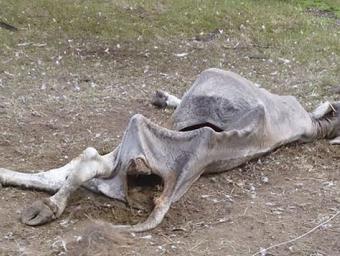 La vaca morta a l'Esquirol. Els voltors només hi van deixar la pell i els ossos