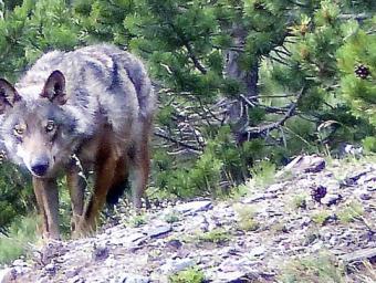 Foto del 24 de juliol al vessant nord del Puigmal, quan la família de Jean-Charles Grange es va trobar amb aquest llop cara a cara Jean-Charles Grange