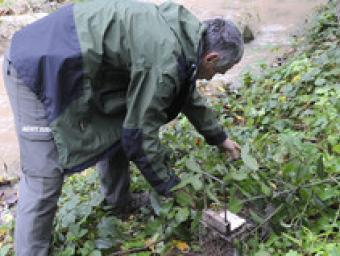 Un membre dels Agents Rurals controla un dels paranys que han instal·lat aquests darrers dies al riu Congost a prop de l'església de Santa Eugènia, en Ramon Ferrandis