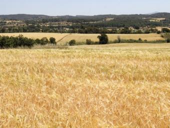 Els camps de cereals, com aquest entre Llerona i l'Ametlla, presenten aquest aspecte esgrogueït, inusual a mig mes de maig Griselda Escrigas