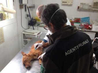 Identifiquen el presumpte autor de la mort d'un gos a l'Anoia Info Anoia