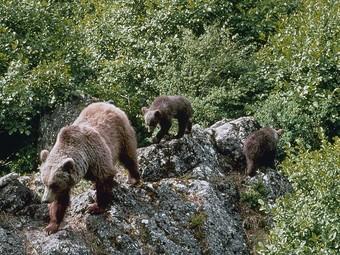 Tres dels óssos reintroduïts al Pirineu. EL PUNT