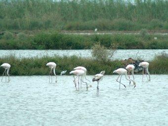 Els flamencs són una de les aus que atreu més als visitants del Delta.  A.SEBASTIÀ