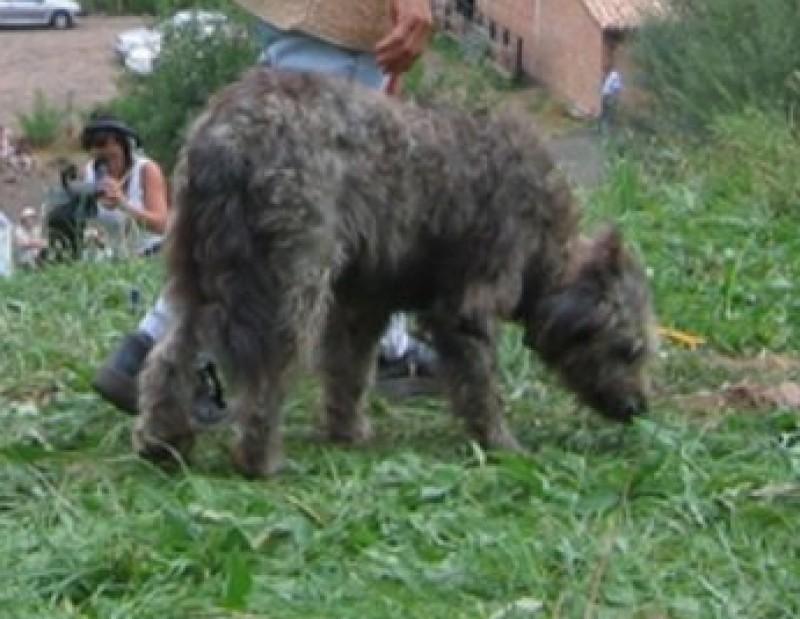 Pastor i gos, al Prat del Castell.  SORTIM