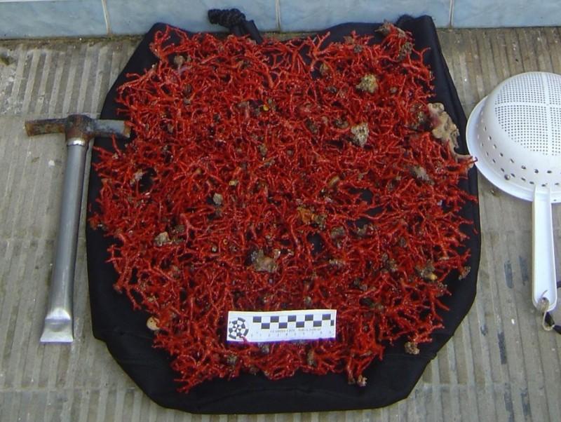 Una mostra de corall vermell de la Mediterrània. EL PUNT