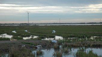 La directiva europea i la presència d'aus, encareix el conreu de l'arrós. /  JOSÉ CUELLAR