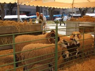 Una imatge de la mostra de l'oví de Solsona.