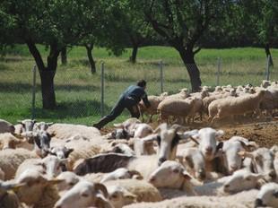 Un alumne aprenent a agafar ovelles amb el ganxo a l'escola.