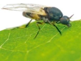 Imatge de la mosca negra. EL PUNT