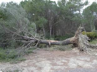 Un arbre centenari tombat per les ventades del gener a Mediona.  A.M