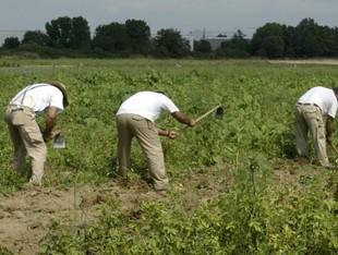 Treballadors de la Fundació Drissa als horts ecològics.  EUDALD PICAS