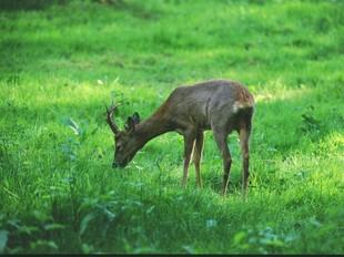Un exemplar de cabirol menjant herba de pastura.  EL PUNT
