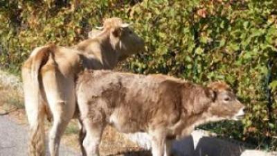 Una vaca i un vedell a la Roca d'Albera.