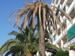 Una palmera afectada per l'escarabat morrut al municipi de Pineda de Mar. T.M
