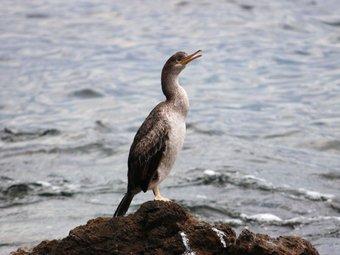 Un corb marí emplomallat al Cap de Creus EL PUNT / PONÇ FELIU