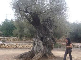 Una de les oliveres monumentals d'Ulldecona.  L.M