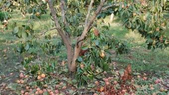 Els arbres afectats pel fong es queden totalment despoblat i sense fruita. /  ARXIU