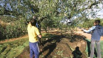 El preu de l'oli d'oliva ha caigut un 40% respecte el 2007. DIMAS BALAGUER