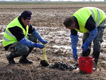Membres d'una brigada retiren exemplars de cargol poma dels arrossars.  ACN