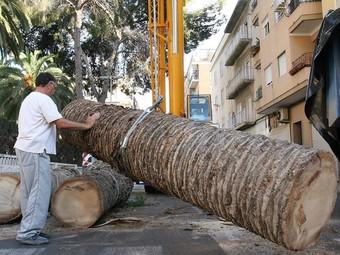 Trtansport de palmeres afectades pel morrut roig. /  ARXIU