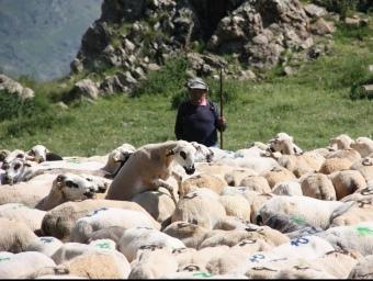 Un pastor guarda els ramats de diversos propietaris, al Pallars Sobirà. MARTA LLUVICH / ACN