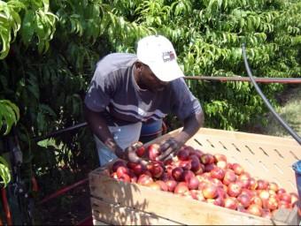 Un temporer recollint nectarines alBaix Segre, on els pagesos ja tenen contractats tots els treballadors ACN