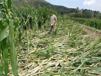 Miquel Serrat, un dels pagesos més afectats, comprova les destrosses en un dels camps TURA SOLER