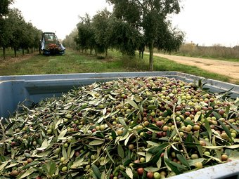 Recollida d'olives als camps de conreu d'oliveres de Torroella de Fluvià.  MANEL LLADÓ