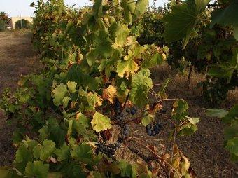 Vinyes del Celler de Santa Maria la Palma de l'Alguer, a Sardenya, que es replantaran a Catalunya ACN