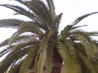 Palmera afectada pel morrut roig al terme municipal de Calp. CEDIDA