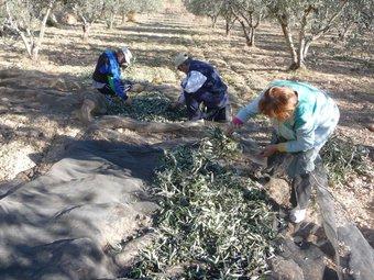Els llauradors ocasionals aprofiten qualsevol moment per recollir les olives. ROSELLA C. SANZ