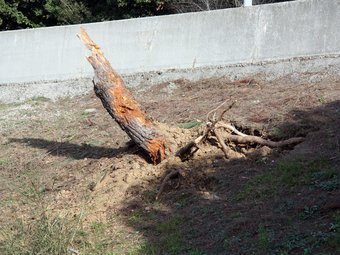 L'arbre contra el qual s'ha encastat el cotxe. acn