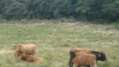 Les vaques salvatges es constitueixen en ramats d'entre cinc a vint individus. EL PUNT