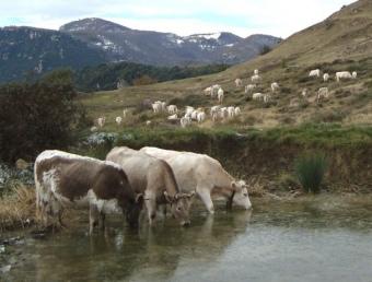El condicionament d'espais per a pastures és una prioritat del consorci. A la foto, un ramat a Pera (Oix). C. ALTA GARROTXA