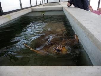 Una de les dotze tortugues que el CRAM té actualment a les seves instal·lacions i que està pendent de recuperar-se per tornar al mar. C.A.F