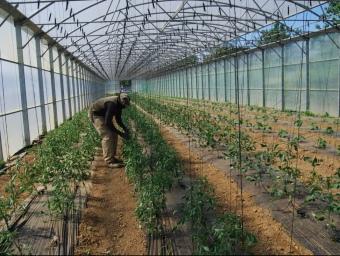 Un treballador controlant les tomateres. I.BOSCH