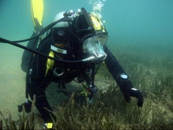 Un submarinista inspecciona una praderia de 'Cymodocea nodosa' ARXIU