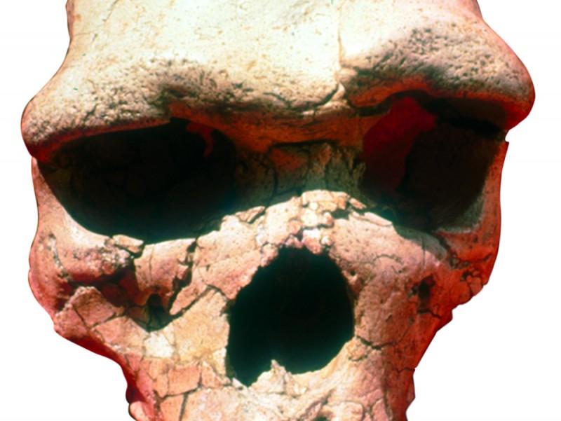 Crani de l'home de Talteüll  MUSEU