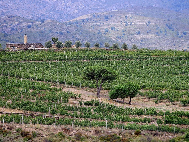 Una imatge d'una de les vinyes que el celler Martín Faixó té a Cadaqués MANEL LLADÓ