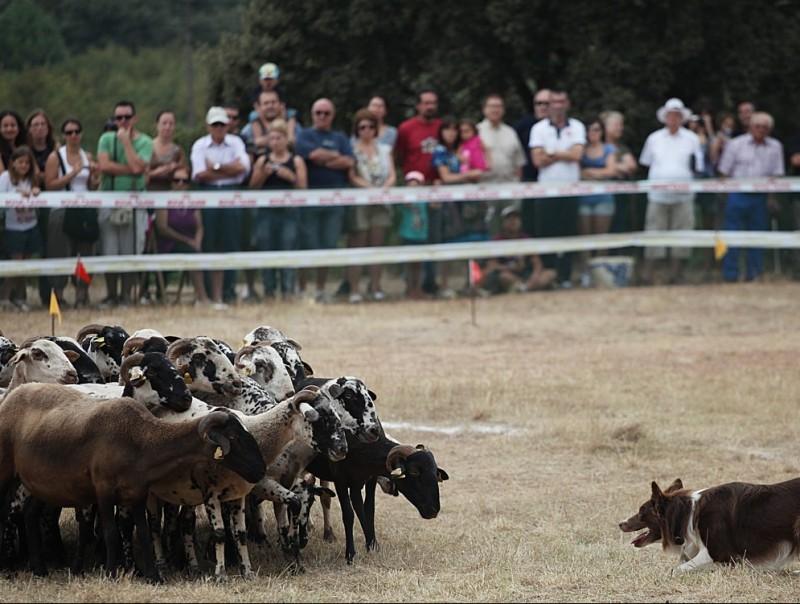 Seguint les ordres del pastor, els gossos s'encaraven ahir als bens a Prades per fer-los creure. ELISABETH MAGRE