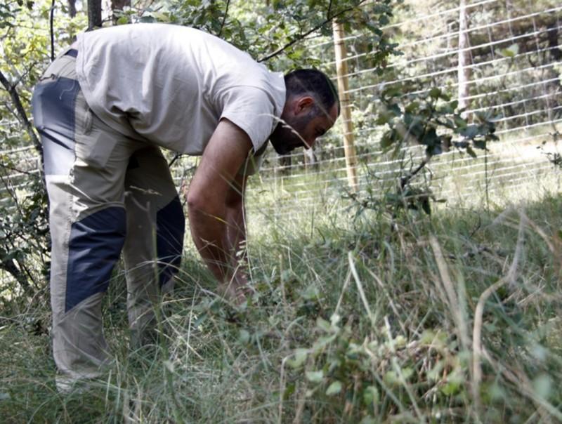 El Centre Tecnològic Forestal de Catalunya col·labora en la iniciativa. En la imatge, el micòleg del centre, Juan Martínez, als terrenys de Josep Pintó. ESTEFANIA ESCOLÀ / ACN