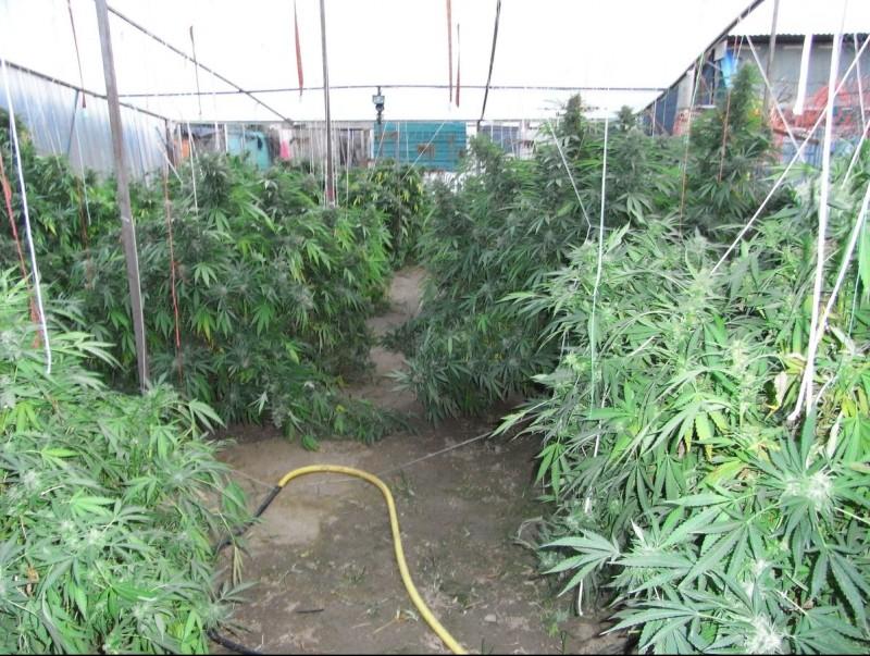 La plantació de marihuana trobada a Pineda de Mar. AJ. PINEDA DE MAR