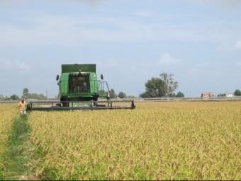 Un camp d'arròs de Deltebre durant la sega del cereal en una imatge d'arxiu L.M